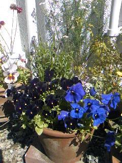 ビオラ (植物)の画像 p1_31