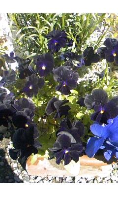 ビオラ (植物)の画像 p1_36
